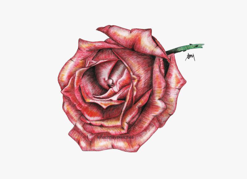 Rose-Colour-10-12-14-800pf