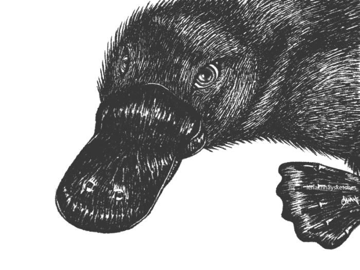 Platypus 150619 300x