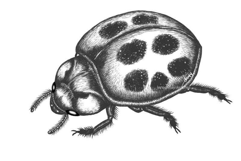 Lady Beetle 300819 300x