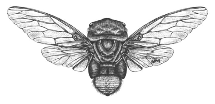 Double Drummer Cicada (Thophasaccata)