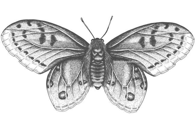 Apollo Butterfly FULL 270520 650x