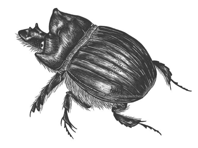 Scarab Beetle (Heliocoprishamadryas)