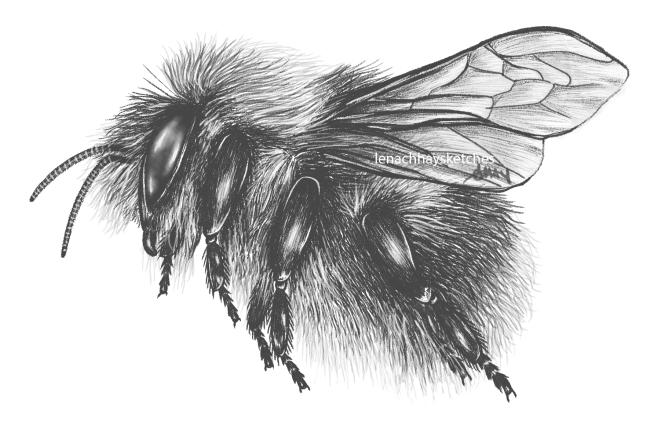Bumble Bee (Bombusspp.)