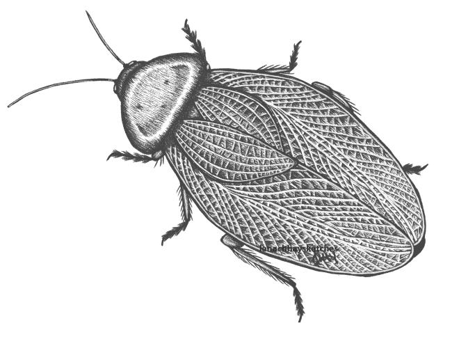 Bush Roach EllipsidioHumerale FULL 020620 650x