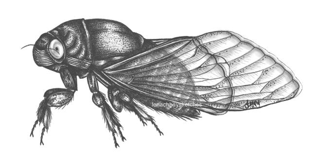 Periodical Cicada (Magicicadaspp.)