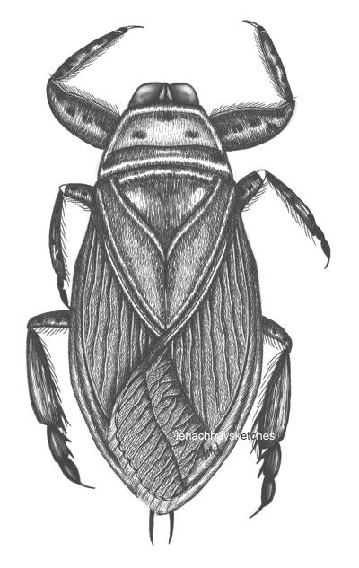 Giant Water Bug (Lethocerusamericanus)
